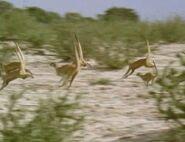 Meerkats United - War Dancing