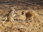 Nomads pups