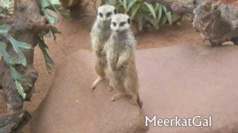 Adelaide Zoo's Meerkat Triplets♥ !