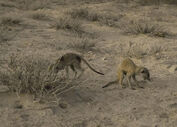 Tow Boabab meerkats