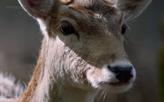 Mrs. Deer