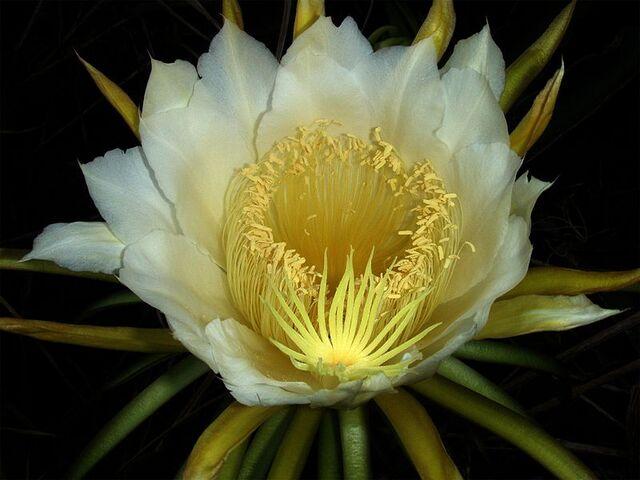 File:800px-Night-blooming cereus paniniokapunahoa.jpg