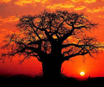 File:Baobab-tree-in-sunset.jpg