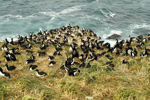 File:Auckland Shag Herd 1.jpg