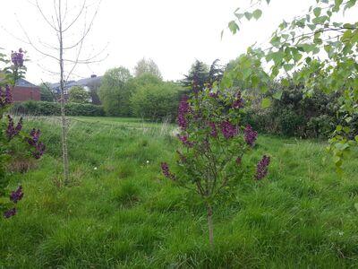 Purple lilac 2014