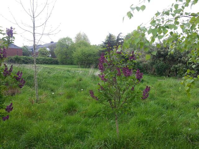 File:Purple lilac 2014.jpg