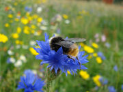 Beeoncornflower