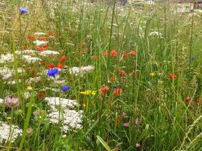 Halton Wildflower Meadow 2014