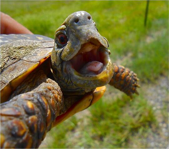 File:Box-turtle-smiling-oglala-lakota-college.jpg