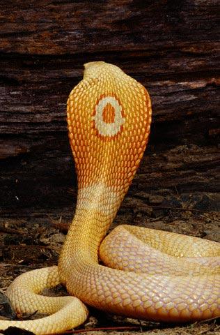File:Cobra.jpg