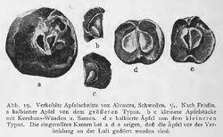 Apfelfunde RdgA Bd1, Abb.019