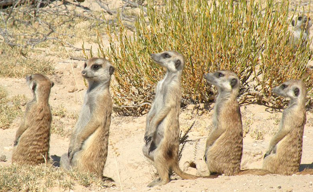 File:Prarie Dogs Mob.png