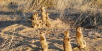 Meerkat Town