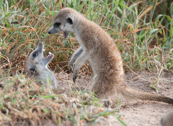 File:Young Rockkats play-fightting.jpg