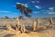 Meerkats kalahari