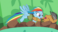 Rainbow Dash playfully tackles Quibble S6E13