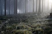 Feldberg forest mists