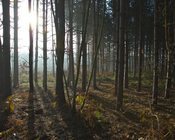 File:Sun through pine trees.jpg