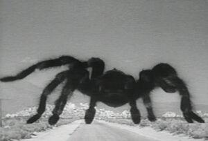Tarantula7