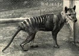 Tasmania tiger