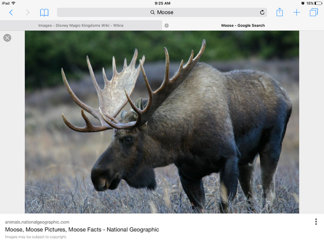 File:Is it a moose.png