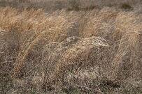 Graegrass