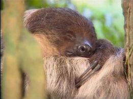 Song.slothsleepy