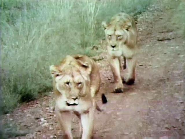 File:Lions!.jpg