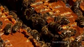 Honeybee Hullabaloo Song