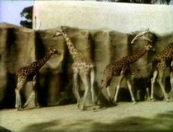 0010.giraffes