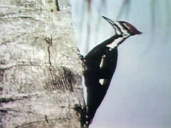 2933-Woodpecker