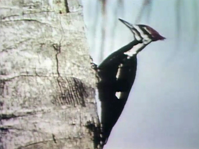 File:2933-Woodpecker.jpg