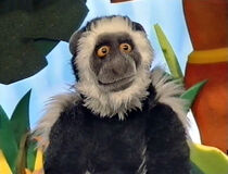 Cody the Colobus Monkey