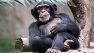 Chimpanzee-webcam