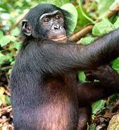 Bonobo-ape
