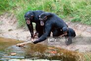 88548528-family-of-chimpanzees-by-lake-gettyimages