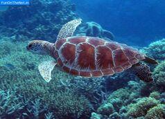 Great-barrier-reef-turtle1