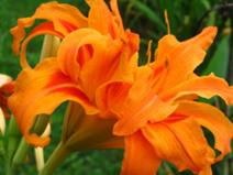 File:212px-Orange Daylily.jpg