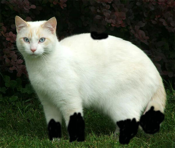 File:Cat-beautiful-white.jpg