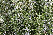 220px-Rosemary bush