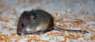 Lovia - Harvest Mouse