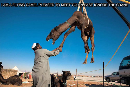 File:Flying-camel.jpg