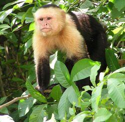 Capuchin Costa Rica
