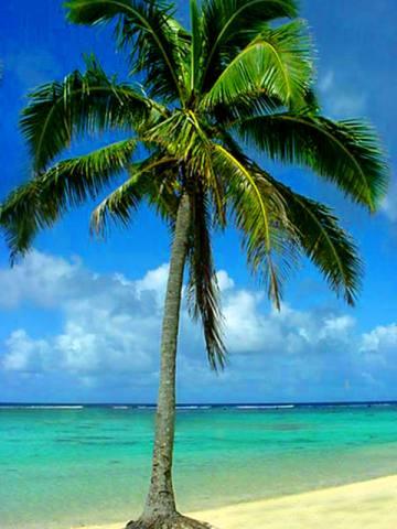 File:Palm tree 2.jpg