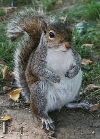 File:Common Squirrel.jpg