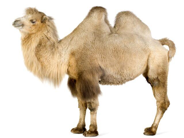 File:Camel on white 2560x1920-Wallpaper.jpg