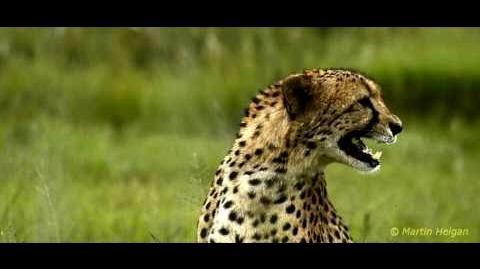Cheetah calls