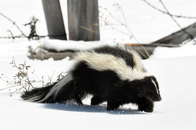 File:Striped Skunk (Mephitis mephitis) DSC 0030.jpg