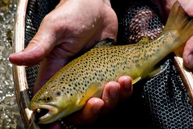 File:Brown trout.jpg