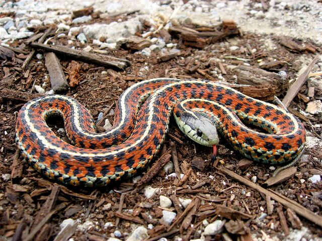 File:Coast Garter Snake.jpg